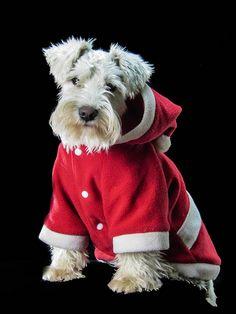 Miniature Schnauzer Christmas Puppy #Holiday #Dogs