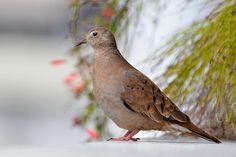 Rolinha-roxa(Columbina talpacoti) Ruddy Ground-Dove