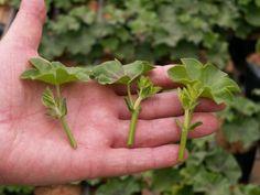 Como sabréis hay tres tipos de esquejes, los herbáceos, los semileñosos y los leñosos. En esta ocasión nos referimos sólo a los herbáceos