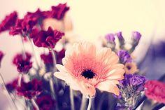 Gebera Daisy. Favorite flowers.