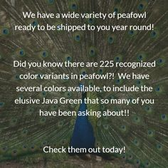 Did you know there are 225 recognized peafowl colors? Peafowl, Did You Know, Colors, Peacock, Colour, Peacocks, Color, Paint Colors, Hue
