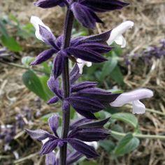 Salvia - 'Meigans Magic'