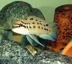 Seahorse Aquarium, Glass Aquarium, Freshwater Aquarium Fish, Malawi Cichlids, African Cichlids, Colorful Fish, Tropical Fish, Cichlid Fish, Lake Tanganyika