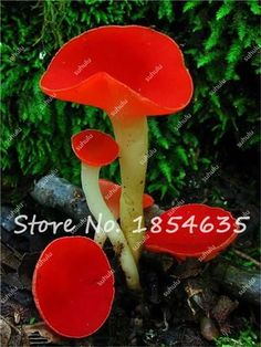 100Pcs/Bag Organic Delicious Mushroom Seeds, Funny Fungus Succulent Plant, Edible Health Seeds Very Easy To Grow For Home Garden