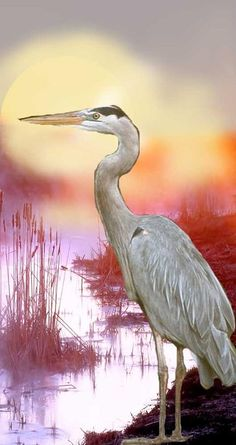Blue Heron Photograph by Sherry Shipley - Blue Heron Fine Art Prints and Posters for Sale