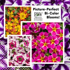 Some colors can be found in abundance in the landscape, but bi-colors aren't often typical. Yet gardeners tell us this is one of their favorite looks. Proven Winners is always seeking out reliable, stable flowers that are worthy of their name. Pre-order some for your flower garden today while supplies last! . #provenwinners #superbellsrisingstarcalibrachoa #supertuniavioletstarcharmpetunia #campfirefireburstbidens #superbenasparklingrubyverbena  #gardenanswers