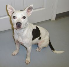 ***SUPER URGENT!!!*** - PLEASE SAVE LILLY!! - EU DATE: 8/11/2014 -- lilly Breed: Pit Bull Terrier / Mixed (mix breed) Age: Young adult Gender: Female Size: , Shelter Information: Ohio County Animal Shelter 1802 Country Club Lane Hartford, KY Shelter dog ID: 0901 Contacts: Phone: 270-298-4499 Name: Stephanie email: pet_fostermom@yahoo.com