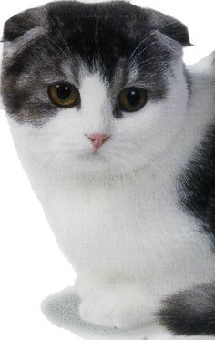 There are many different type of cats and most cats have something unique about them. Some of the cats are unique with different body structure. Different Types Of Cats, Kinds Of Cats, Cat Scottish Fold, Cat Breeds, Hello Kitty, Animals, Tortoise Turtle, Cat, Animales