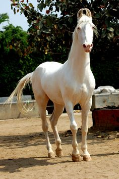 Marwari horse (indigenous horses of india) - Marwari - Horses of India Percheron Horses, Haflinger Horse, Mare Horse, Beautiful Horse Pictures, Beautiful Horses, Animals Beautiful, Beautiful Beautiful, Beautiful Things, Different Horse Breeds