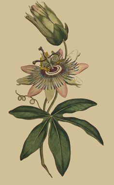 still hoping to find a spot in my garden for passionflowers