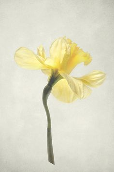 Decadent Daffodil by Kathi Mirto - Yellow Daffodil Flower Stem - Daffodil Flower Tattoos, Narcissus Flower, Flower Art, Botanical Art, Botanical Illustration, Watercolor Flowers, Watercolor Paintings, Ginger Flower, Watercolor Projects