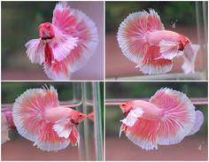 Pink Betta Fish <b>pink betta</b>  tumblr
