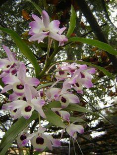 Orquídea Olho-de-Boneca (Dendrobium nobile)