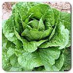 Organic Parris Island Cos Lettuce