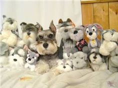 Will the real Mini Schnauzer please stand up.