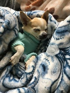 Chihuahua   PetSync #Chihuahua
