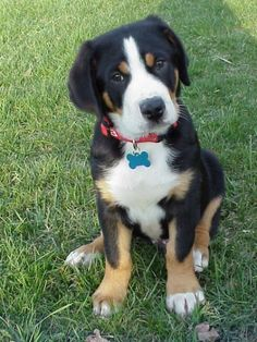 Cute Greater Swiss Mountain Dog Puppy