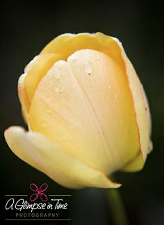 YellowTulip1_March2012WEB   Flickr - Photo Sharing! A Glimpse in Time Photography by Heather Shatto--Kansas photographer
