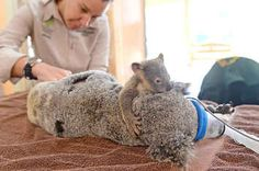 The Adorable Moment A Baby Koala Held His Mom During Her Surgery