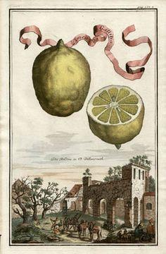 Volckamer Citrus Fruit Print