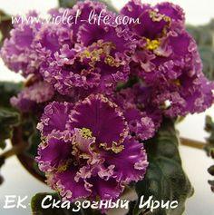 ЕК-Сказочный Ирис (Е.Коршунова).   Огромнейшие, махровые красно-пурпурные цветы с густой зеленоватой бахромой. В полуроспуске цветы похожи на красивейшие ирисы. Глаз не отвести! Волнистые зелёные листья. (Чужое фото)