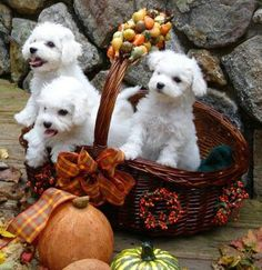 A basket of baby Bichons.. :):)