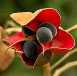 Exotic Flower: MAJIDEA ZANGUEBERICA         'Black Pearl Tree'               'Mgambo'