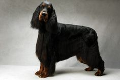 Teddy the Setter (Gordon - sporting).  Teddy, registered as Sastyas Eleven Eleven, is owned by William Leonard and Mary Ann Leonard. (Fred R. Conrad, a New York Times photographer, set up a studio at the 2013 Westminster Kennel Club dog show and invited Best of Breed winners to pose.)
