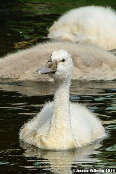 jonge zwaan young swan