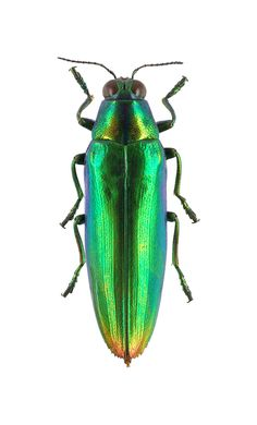 Chrysochroa kaupii. Collection of the Royal Belgian Institute of Natural Sciences