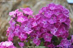 Флокс метельчатый Берендей (Phlox paniculata Berendey) Кудрявцева О.К., 2007. Размер цветка 4,5 см; высота куста 80 см, средний срок цветения. Соцветия плотные.