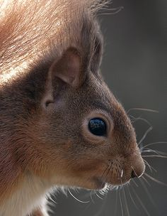 Red Squirrel http://www.flickr.com/photos/46670550@N08/6892408843