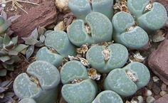 Litopsy to rośliny, które wyglądają jak kamienie. Dzięki temu mogły przetrwać w pustynnych warunkach, ale możemy uprawiać je w doniczkach. Fot. Dysmorodrepanis - wikimedia.commons CC BY SA 3.0