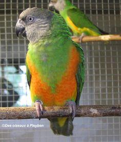 Fiche oiseau n°1 : le youyou du Sénégal