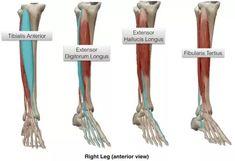 Calf Anatomy, Anatomy Bones, Muscle Anatomy, Foot Anatomy, Human Anatomy, Lower Leg Muscles, Calf Muscles, Fitness Tips For Men, Mens Fitness