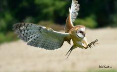 Barn Owl in flight. Phil Scott Photography