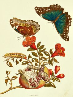 https://flic.kr/p/qmK34K | Pomegranate with Blue Morpho Butterflies and Banded Sphinx Moth Caterpillar (1705) | Punica granatum with Morpho menelaus and Eumorpha fasciatus. Illuminated Copper engraving by Maria Sibylla Merian, from Metamorphosis insectorum Surinamensium, Plate IX  (1705)  From our collection of botanical photographs, illustrations, and paintings.  We hope you will enjoy these images as much as we do.