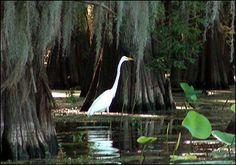 Caddo Lake, Caddo Parish, in Northwest Louisiana   - Day 10 - Fish 50 Trophy Waters                                                                                  http://www.fish5050.com/Louisiana.html#