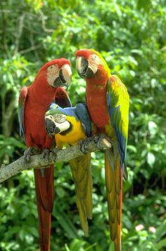http://www.petcarevision.com/Parrot/parrots.php
