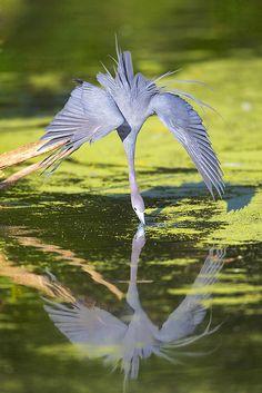 Little Blue Heron - egretta caerulea - By Darlene Boucher