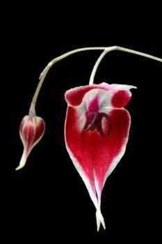 Unusual Flowers, Rare Flowers, My Flower, Flower Power, Large Fish Tanks, Florida Plants, Miniature Orchids, Orchidaceae, Exotic Plants