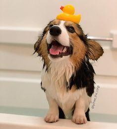 Pembroke Welsh Corgi - Alert and Affectionate Corgi Funny, Corgi Dog, Pet Dogs, Animals And Pets, Funny Animals, Corgi Facts, Pembroke Welsh Corgi, Cute Dogs And Puppies, Cute Little Animals