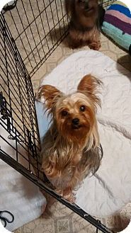 Lorain, OH - Yorkie, Yorkshire Terrier. Meet Lourdes a Dog for Adoption.