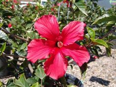 HIBISCUS 'Brilliant' | Evergreen Nursery