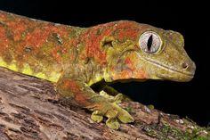 Rhacodactylus chahoua, Mossy giant gecko,New Caledonia,20th of May 2012