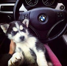 bmw and husky Cute Little Animals, Cute Funny Animals, Cute Dogs, Cute Husky Puppies, Husky Puppy, Wolf Husky, Bmw Girl, Bmw Wallpapers, Bmw 5