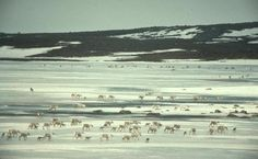 Journey North and caribou migration. Earth Day, Climate Change, Journey, Photos, Pictures, The Journey