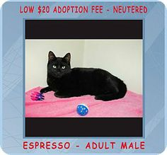 Red Bluff, CA - Domestic Shorthair. Meet ESPRESSO a Cat for Adoption.