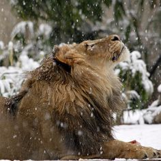 A real lion in winter. In this photo Luke looks up at snowflakes gently falling around him. Lions can tolerate cold temperatures-the African savannah can be a very cold place at night-but our lions always have the option to spend time in heated dens or inside on very cold days. #WinterIsComing @Smithsonian