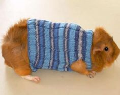 Daily DIY Pet Pattern - Knit A Sweater For A Guinea Pig So cute... thinking of the sis in law here...